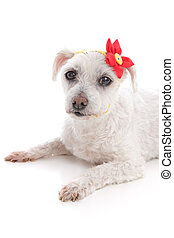 Small white dog lying down resting