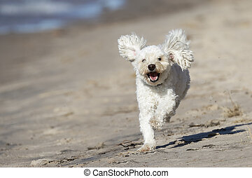Small White Dog Running on a Sandy Beach