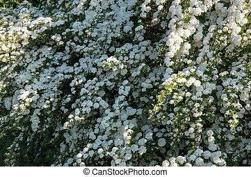 White flowers of spiraea white flowers of blossoming bush stock small white flowers of spiraea mightylinksfo Images
