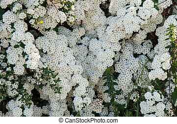 Small white flowers of spiraea