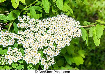Small white flowers of spiraea