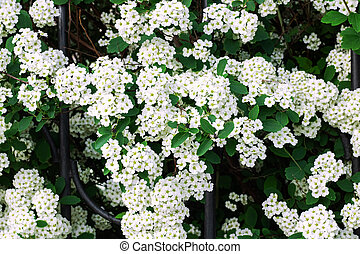Small white flowers on a branch close up