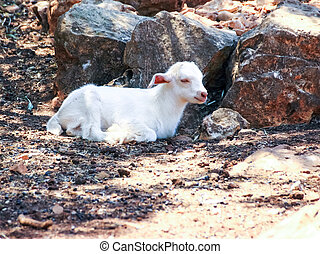 Small white goat lying in the sun