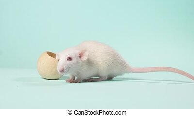 small white laboratory rat, on a blue background