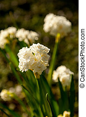 Small white Narcissus flowers bloom at the end of long stems