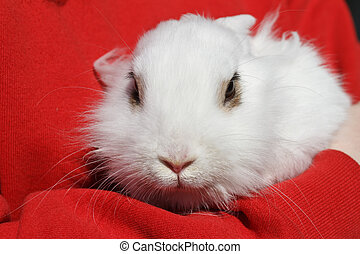 small white rabbit - young rabbit held in arms by a girl