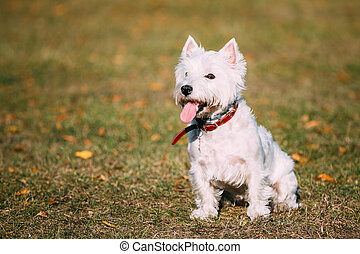 Small White West Highland White Terrier - Westie, Westy Dog...