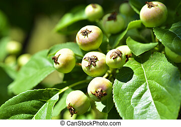Small wild Apple fruit on a Bush in the green