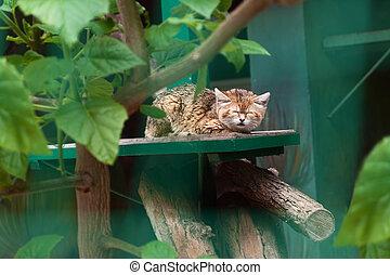Small wild cat sleeping in the zoo