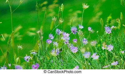 Small Wind Flowers Swaying On Wind