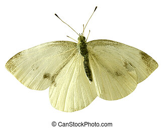 Small yellow butterfly isolated on white background