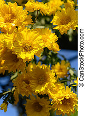 small yellow chrysanthemum flowers vertical composition
