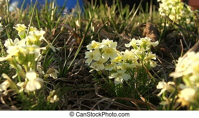 Small Yellow Flower With Green Gras - Closeup footage of...