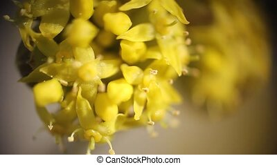 small yellow flowers blooming. macr