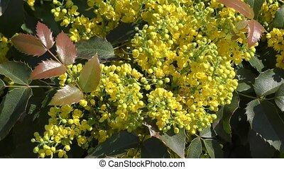 Small yellow flowers mahonia