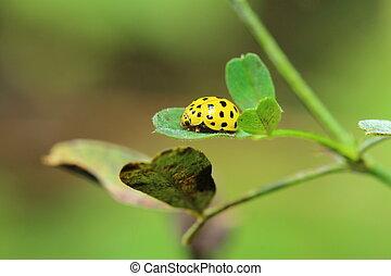 small yellow ladybug on a green leaf