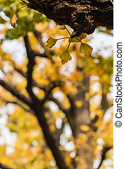Small yellow leave of Ginkgo on the branch
