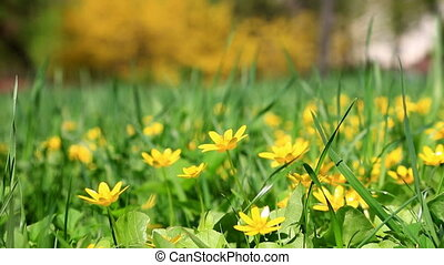 Small yellow spring flowers in a green grass in a sunny day