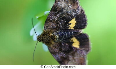 Small yellow underwing - macro - Small yellow underwing -...