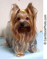 Small Yorkshire Terrier Dog