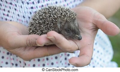Small young hedgehog moves in human hands - Cute small young...