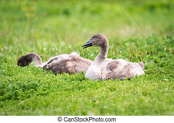 Small young swan or cygnet in the grass