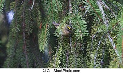 smallest bird in Europe jumps on spruce branches, wildlife