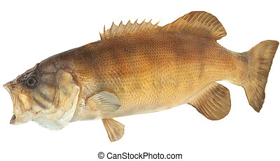 Smallmouth Bass Side View - Side view of a large smallmouth...