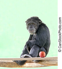 Smart intelligent chimpanzee sitting in relaxed mood and looking with an apple besides it. Chimps are very smart animals and closest relatives of humans and they are of African origin.