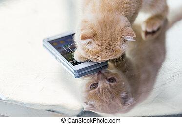smartphone, escocés, arriba, pliegue, gatito, cierre
