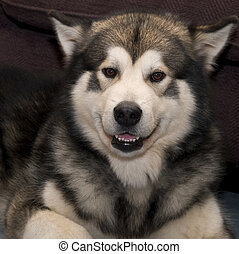 Alaskan Malamute dog smiling