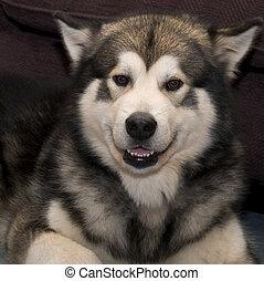 Smile Please - Alaskan Malamute dog smiling