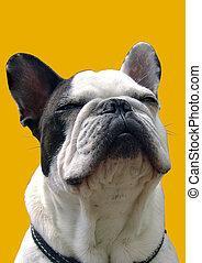 Smiling bulldog in collar. Isolated on yellow.
