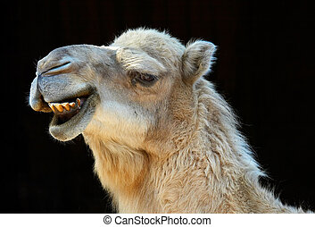camel smiling with black background