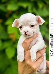 smiling cute white chihuahua puppy
