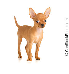 smiling dog Russian toy terrier - smiling dog Russian toy...