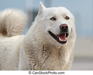 Smiling husky dog