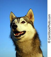 smiling husky - head of purebreed siberian husky in blue sky