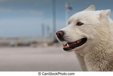 Smiling husky