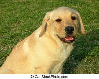 Smiling labrador dog portrait, in a green field of grass