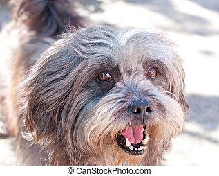 smiling lhasa apso dog