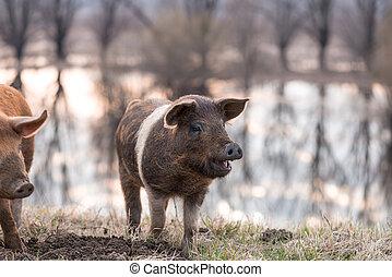 Smiling mangulitsa pig on the field