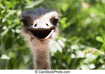 Smiling ostrich large frame
