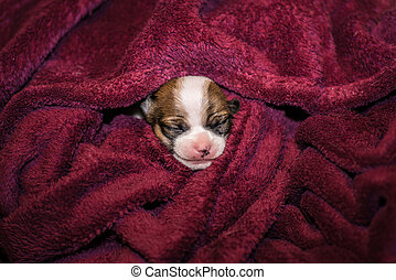 smiling small chihuahua puppy wrapped in a blanket