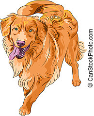 smiling staying red gun hilarious funny dog breed Nova Scotia Duck Tolling Retriever (Toller)