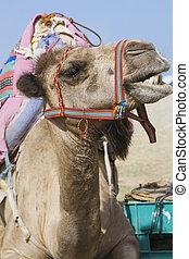 Smiling transport camel