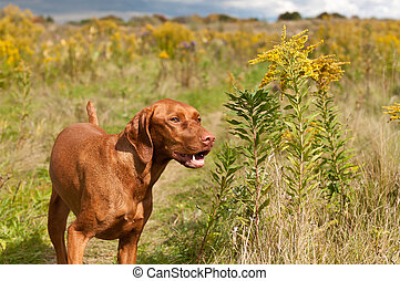 Smiling Vizsla Dog Standing in a Green Field