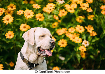 Smiling With Close Eyes Yellow Golden Labrador Female Dog In...