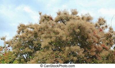 Smoke tree in botanical gardens, HD
