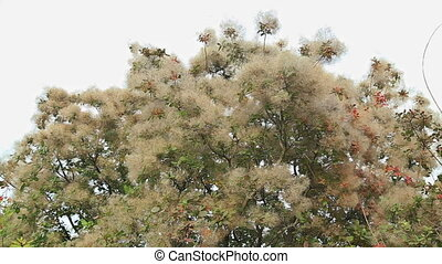 Smoke tree in botanical gardens, HD